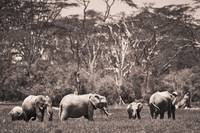 A Group Of Elephants Kenya