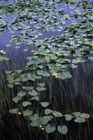 Lily pads in the marshes near Portage Valley and a