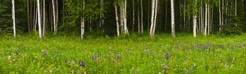 Scenic view of a Birch forest and Lupine meadow, E