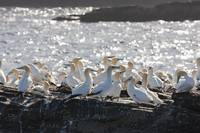 A Flock Of Gannets Standing On A Rock By The Water