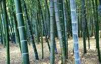 Bamboo Tree Forest, Close Up