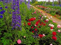 Peonies And Delphiniums in Mount Congreve Gardens,