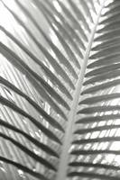 Close-up detail of coconut palm fronds, Selective