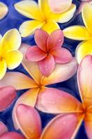 Studio Shot Of Colorful Plumeria Flowers On Blue B
