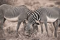 Two Zebras Grazing Together Kenya