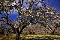 Apple Trees In An Orchard, County Armagh, Republic