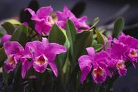 Hawaii, Cluster Of Pink Cattleya Orchids