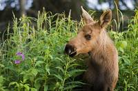 Young Moose Calf Standing In Fireweed In Anchorage