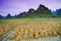 Rice, Yangshuo, Guangxi, China