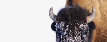 Bison In Winter