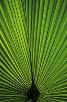 Hawaii, Oahu, Backlit Fan Palm Leaf
