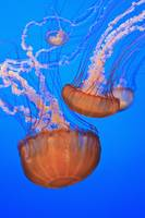 Sea Nettles In Monterey Bay Aquarium Display Cali