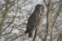 Great Gray Owl In Late Winter Forest, Saskatchewan
