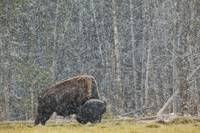 A Buffalo In Lamar Valley In Yellowstone National