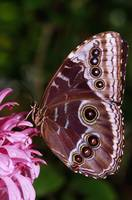 Blue Morpho Butterfly On Flower