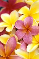 Yellow And Pink Plumeria Flowers, Water Drops On P