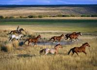 Cowboy Riding With Herd Of Horses Senaca, Oregon,