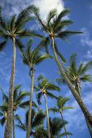 Hawaii, Palm Trees Against Blue Sky And Clouds
