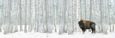 Buffalo Standing In Snow Among Poplar Trees In Elk
