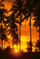 Many Palms Silhouetted In Vibrant Orange Sunset Sk