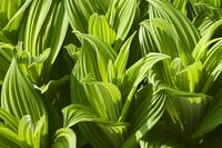 Close up of False Hellebore, Alaska