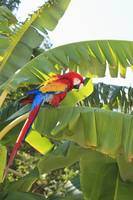 Roatan, Bay Islands, Honduras, A Scarlet Macaw