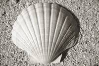 Black and White shell on the sand