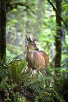 White-Tailed Deer, Olympic National Park Port Ang