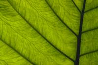 Green Leaf, Main Stem With Veins Running Through