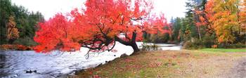 Panorama Of Red Maple Tree, Muskoka, Ontario