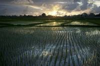 Rice Fields Near Ubud Bali, Indonesia
