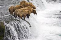 Grizzly Bears fishing at Brooks Falls, Brooks Rive