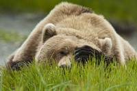 Brown bear resting on sedge grass with paw over ey