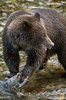Grizzly Bear Biting Salmon Hyder, Alaska, Usa