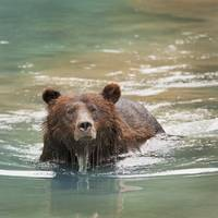 Grizzly Bear Swimming Hyder, Alaska, Usa