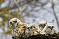 Four Great Horned Owl Chicks Edmonton, Alberta, C