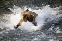 Brown Bear Dives Into Brooks River For Salmon, Ala