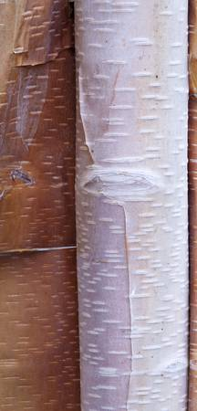 Close Up Detail Of Birch Bark, Chugach State Park,