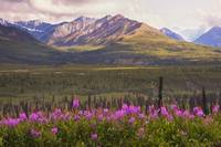 View of the Chugach Mountains with fireweed in the