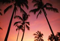 Hawaii, Silhouette Of Palm Trees At Sunset, Pink S