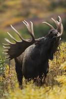 Bull Moose In Autumn, Powerline Pass, Chugach Stat