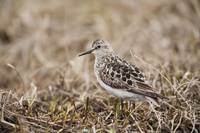 Baird's Sandpiper Stands On Tundra, National Petr