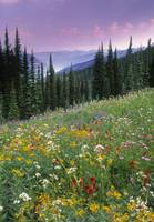 Alpine Wildflower Meadow, British Columbia, Canada