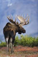 Bull Moose Walking On Autumn Tundra, Powerline Pas