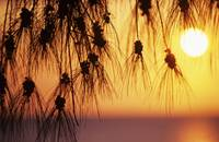 Hawaii, Silhouetted Branches Of Ironwood Pine, Ora