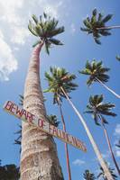 Fiji, Vanua Levu, Tall Coconut Trees And Sign Bewa