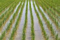 Japan, Kyushu, View Of Young Rice Shoots Growing I