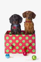 Two Dachshund Puppies Inside A Polka Dot Christmas