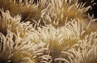 Field Of Wild Grass, Brown With Feathery Texture