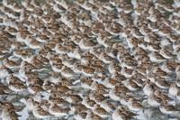 Flock Of Western Sandpipers On The Mud Flats Of Ha